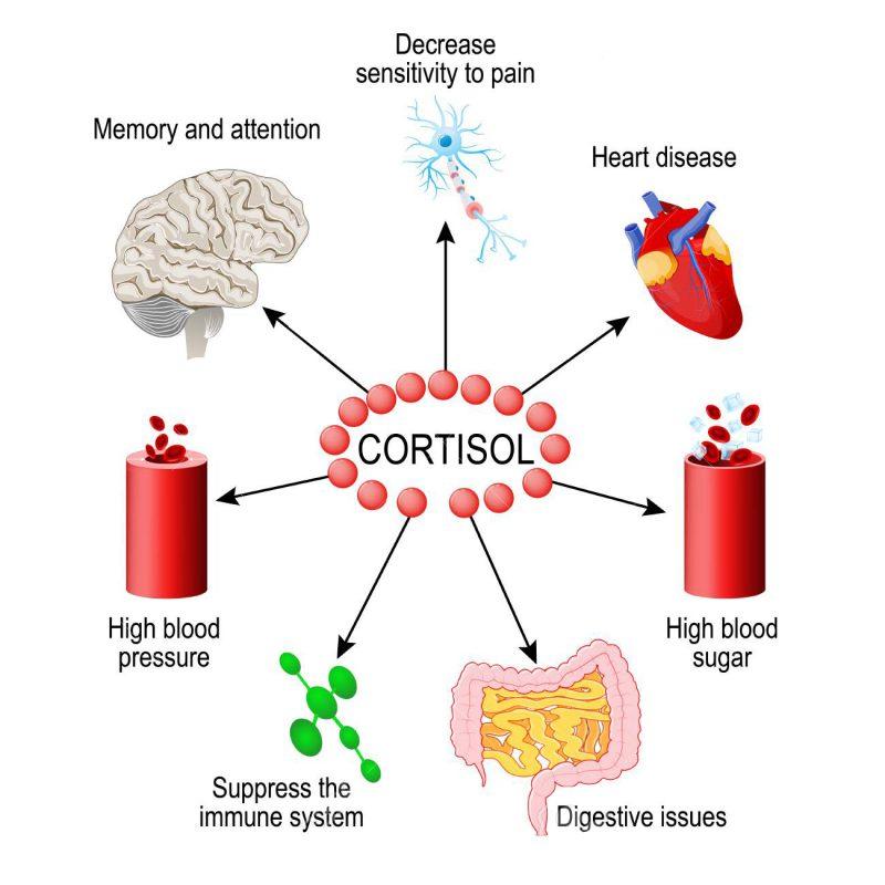Theo nghiên cứu não bộ sẽ chỉ huy tuyến thượng thận tiết ra hàng loạt hormone gia tăng sự căng thẳng như Cortisol
